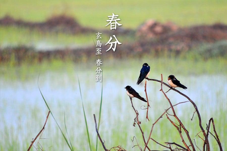 「春分之日,玄鳥至」,玄鳥就是燕子。(明國/大紀元)