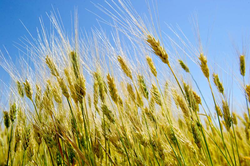 「春分麥起身,一刻值千金」,上天賜福,春分是機不可失的生長季節。(Karen BLEIER/AFP)