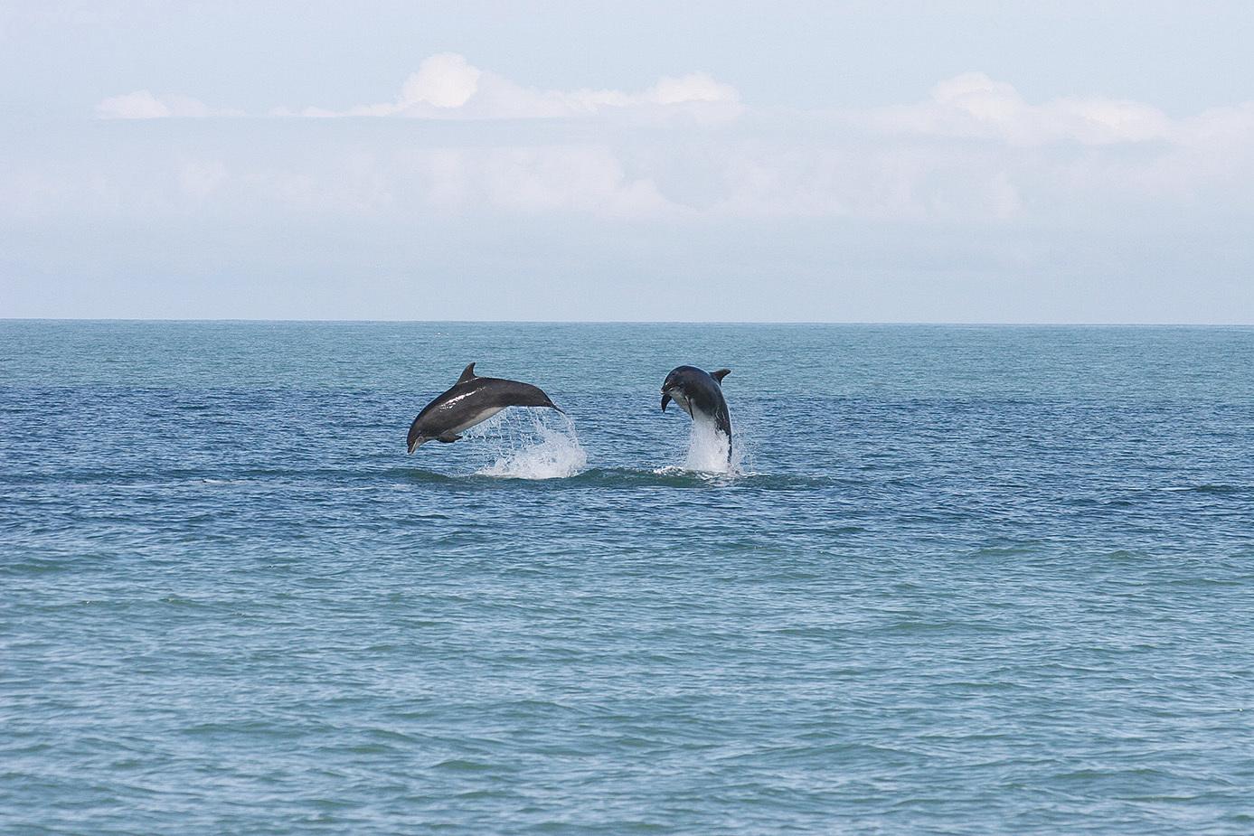 卡迪根海灣一種鼻子像瓶子的海豚叫 bottle nose dolphin。(網絡圖片)