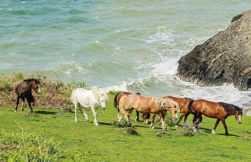 卡迪根海岸景色優美。圖為一群野馬在卡迪根海灣遊走。(Lordbphotos/depositphotos)