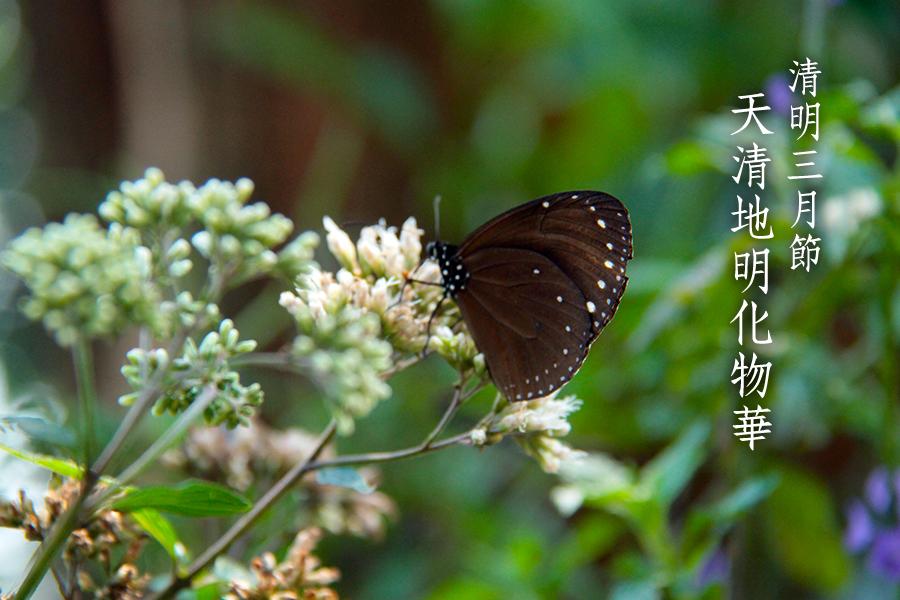 清明節前後大批遷徙的紫斑蝶現蹤。(郭益昌/大紀元)