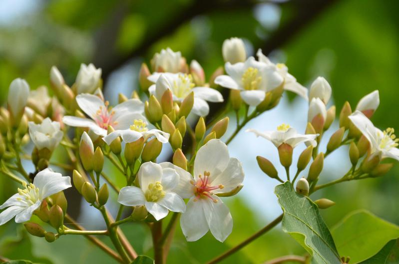 桐花繽紛,三月節——清明時節萬物欣欣向榮。(中央社)