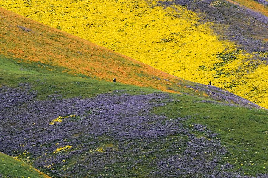 乾旱解除 加州山谷現「超級開花」罕見美景