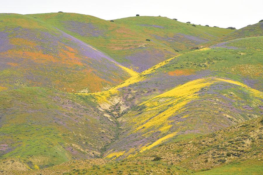 今年冬天的豪雨雖然導致加州一些地區遭遇洪水,但也紓解了連年大旱,讓野外山谷變成美麗花海。(Robyn Beck/AFP)