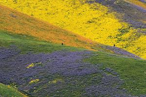 乾旱解除加州山谷現「超級開花」罕見美景