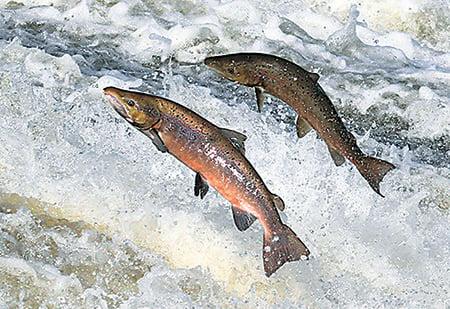 洄游故土的三文魚,要逆流而上,飛躍無數堤壩湍流。(Walter Baxter)