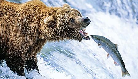 灰熊捕食三文魚。(溫哥華水族館供圖)