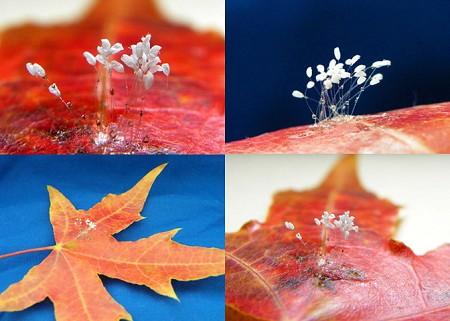 2009年10月21日,在中國遼寧發現在飄落的楓葉上盛開著聖潔的優曇婆羅花,纖細的花瓣、花朵褶皺和花蕊清晰可辨。(明慧網)