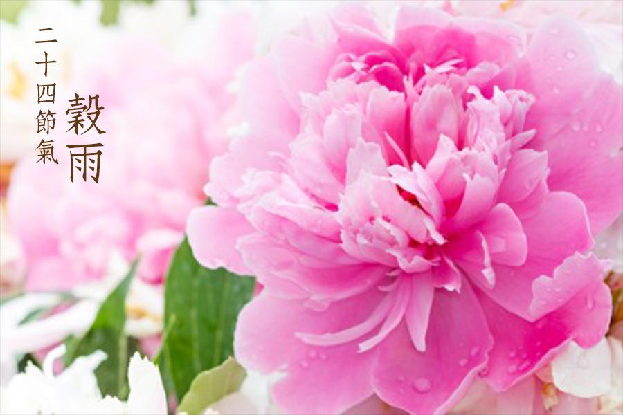 「穀雨花」牡丹開,穀雨來。(fotolia)