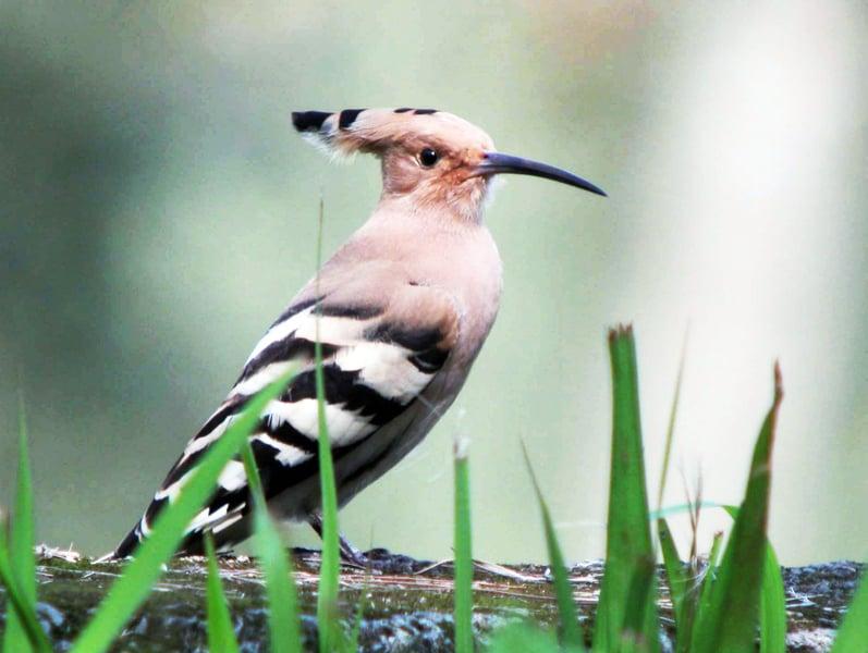 穀雨時節的代表鳥類之一戴勝。(網路圖片)