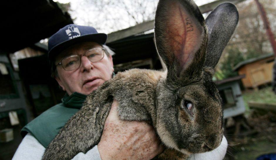 日前,乘坐聯合航空從倫敦飛往芝加哥的一隻巨型兔子在運輸過程中死亡。(推特圖片)