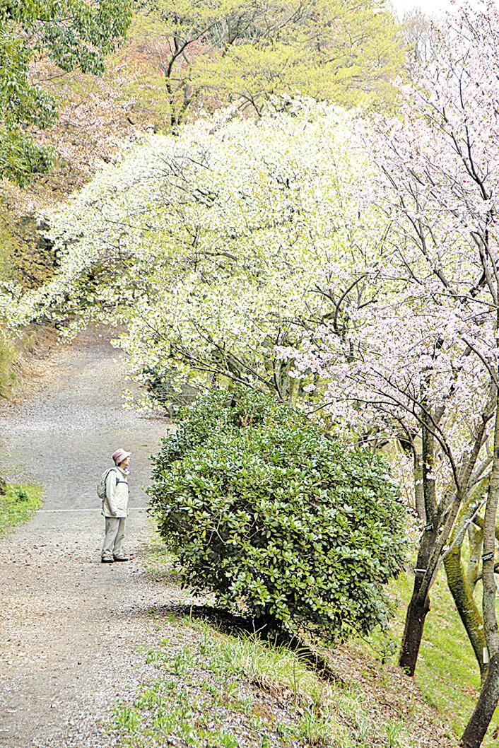 多摩森林科學園保存有日本各地的櫻花樹。(Arashiyama/Wikipedia)