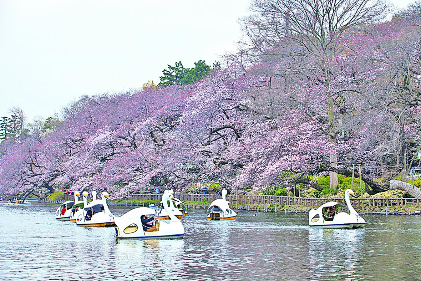 井之頭恩賜公園內櫻花與湖泊相互映襯。