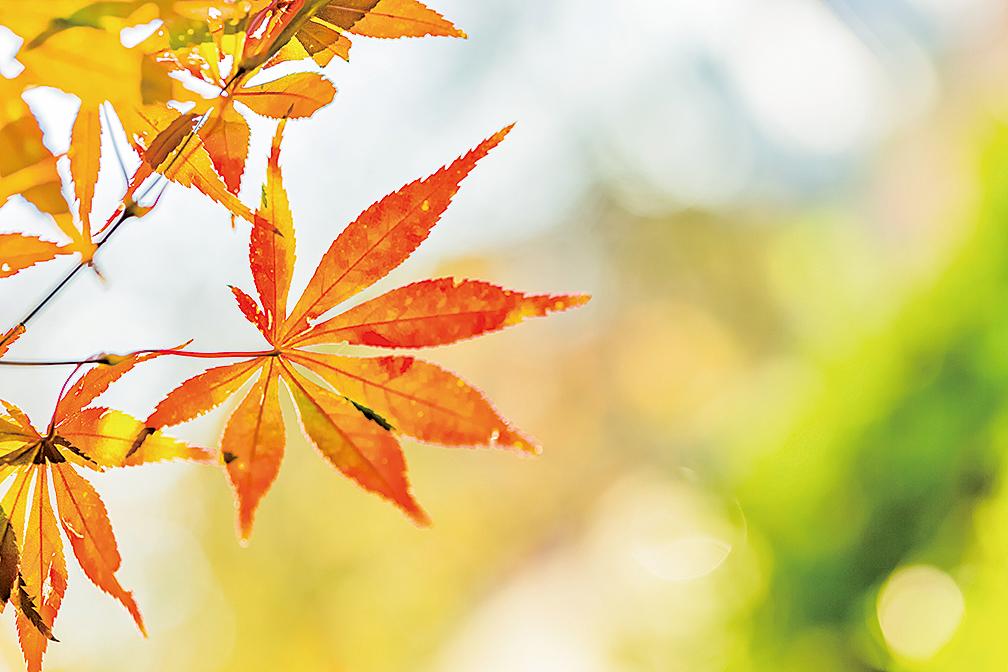 楓樹的紅葉(shutterstock)
