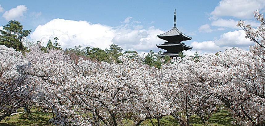 仁和寺內的御室櫻與五重塔相互輝映。