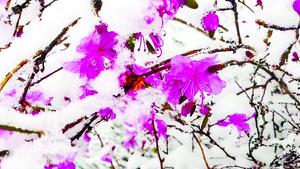 【圖片新聞】立夏日黑龍江降雪