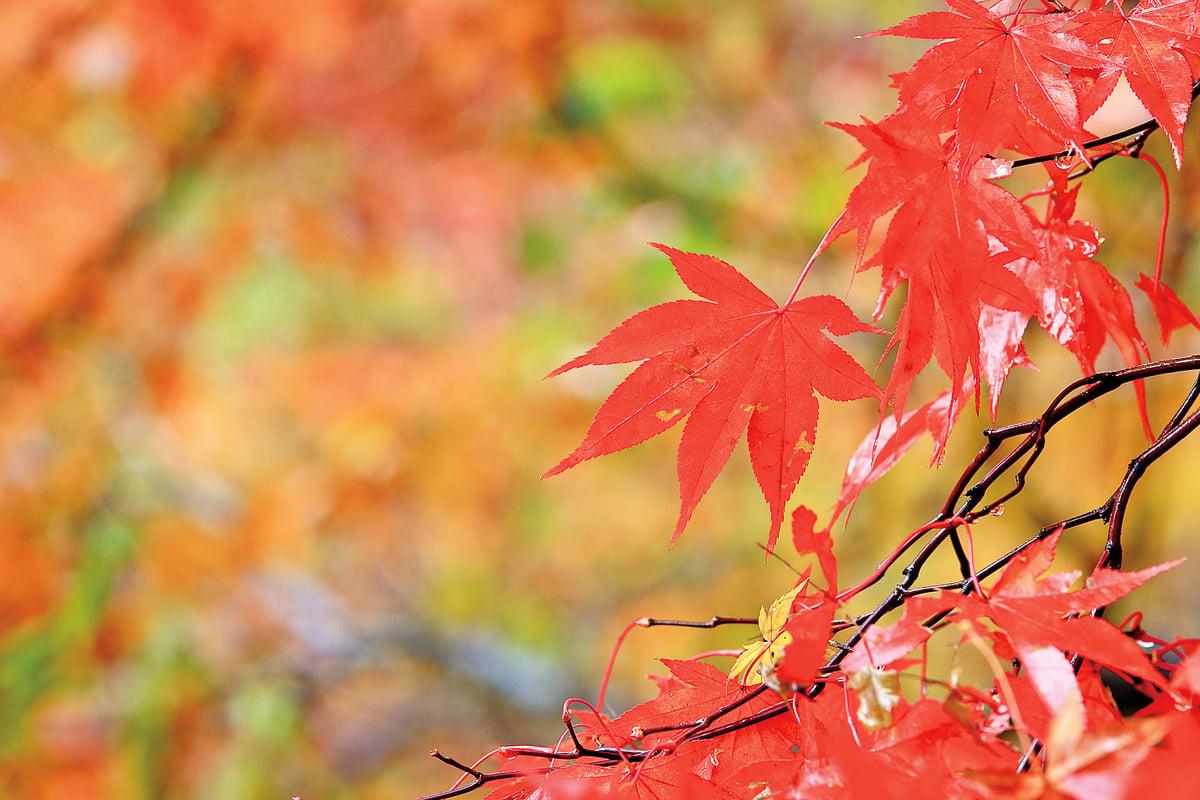 韓國內藏山楓景美如畫。位於全羅北道井邑市的內藏山被稱為韓國最美麗的楓景區,大約每年11月初為楓葉鼎盛期(全景林/大紀元)