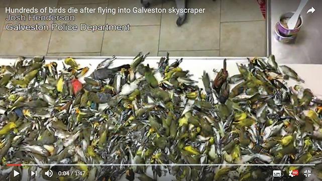 德州自然界奇案 400候鳥陳屍商業區街道