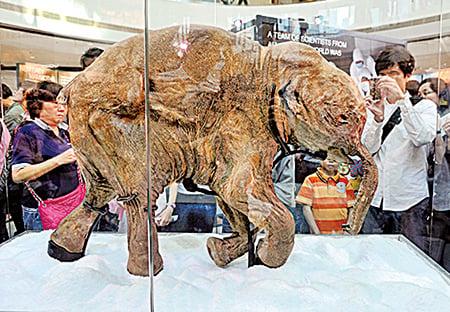 2012年4月12日,香港,亞洲首次展出的現存世上最完整的長毛象遺骸,冰封四萬年的小長毛象Lyuba(柳芭)。(宋祥龍/大紀元)
