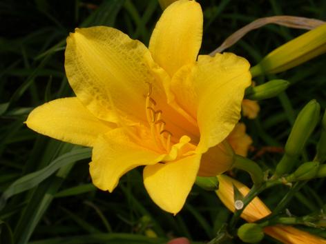 萱草的花形似百合,橘紅色或黃紅色,無香氣,花未全開時,可採做菜食用,根可入藥,若開花則供觀賞。(網路圖片)