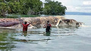 15米巨型海怪陳屍印尼小島海邊