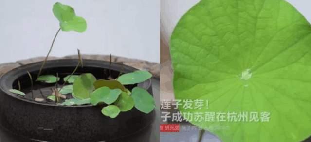 沉睡千年的宋代古蓮子,竟發出嫩綠的葉芽。(視像擷圖)