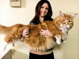 三歲家貓身長1.2米 有望破健力士紀錄