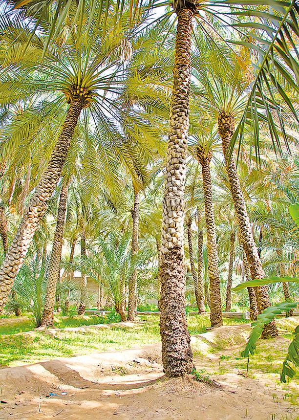 棕櫚樹的森林。