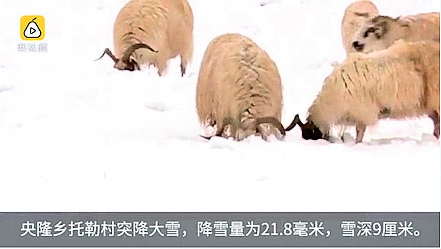 【圖片新聞】青海驚現6月飛雪 牛羊雪中覓食
