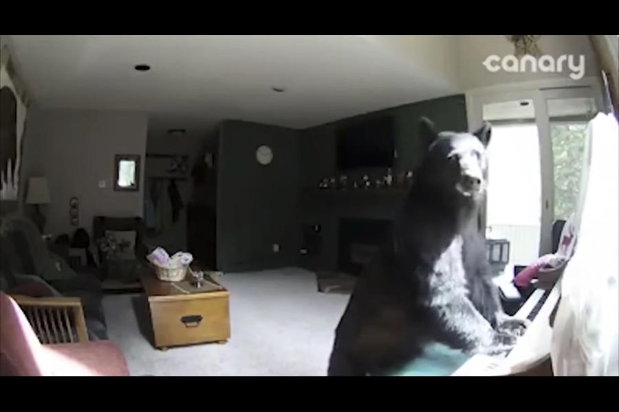 美黑熊入屋開冰箱偷食物 悠閒彈鋼琴