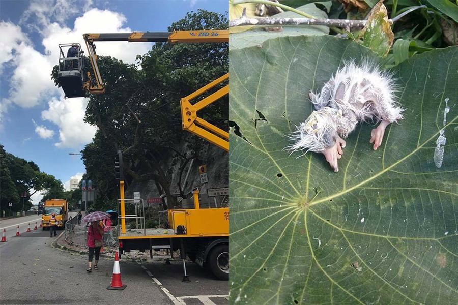 康文署接獲市民投訴後於昨日(6月6日)派出樹木組大肆修剪樹枝,無視樹上多個育有鷺鳥雛鳥的鳥巢,進行強行剪樹,導致大量鷺鳥幼鳥受傷及死亡。事件引來市民及動物保育團體的關注和聲討。(Eliot Wong/香港突發事故報料區、香港自然生態論壇)