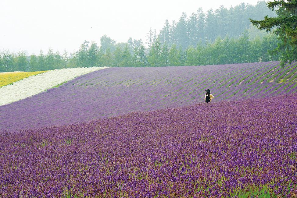 富良野一望無際的薰衣草田。(維基百科)