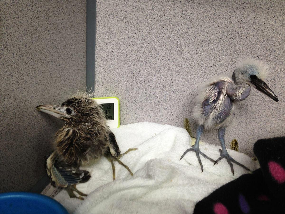 圖為嘉道理農場暨植物園在6日接收的15隻年幼鷺鳥中,仍然生還的其中2隻鷺鳥。(嘉道理農場暨植物園)