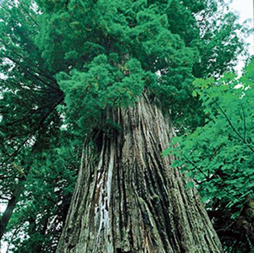 ▲巴西亞馬遜的蟻木非常粗壯,要提取它的樹皮汁液先要用半天把一棵樹鋸下來。這種蟻木樹也不能被移植,所以Taheebo只能在巴西提煉。