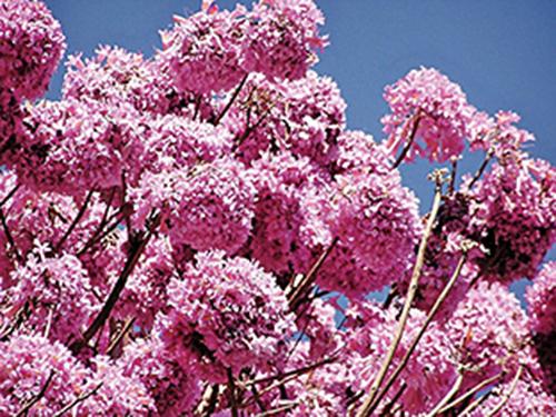 ▲蟻木樹的紫色花盛開之時就是提取Taheebo之黃金時間