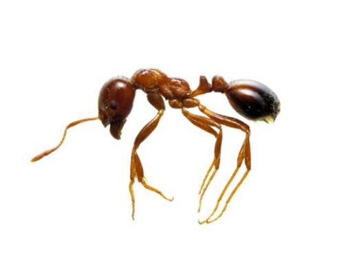 紅火蟻為紅棕色,體長2.5至6毫米。火蟻的頭部有一個類似針尖的部份,咬到後會加入有毒的蛋白到人體內,這會引起人體內的一些生理反應。(日本環境省圖片)