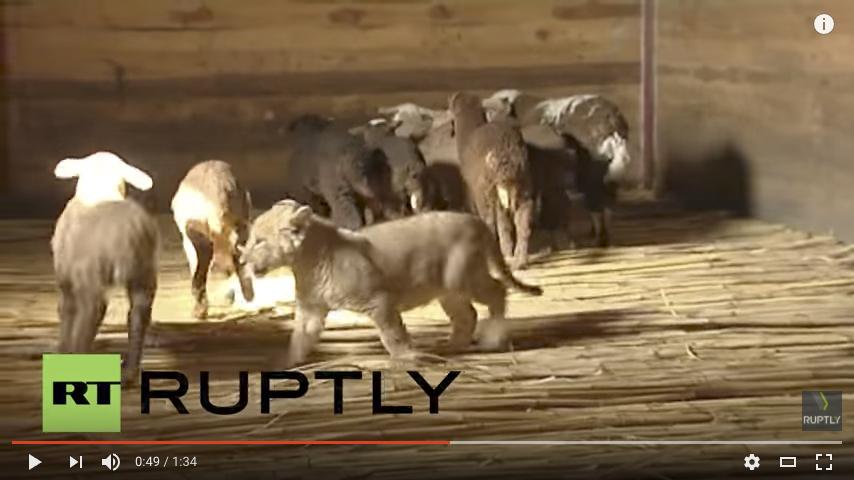 俄國獅子成羊群之「王」 不許小羊睡懶覺