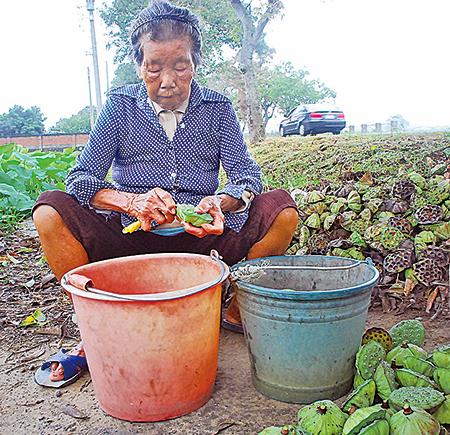 老農婦說,要在十幾年前,在這裏挖蓮子的人一早就坐滿了一排。