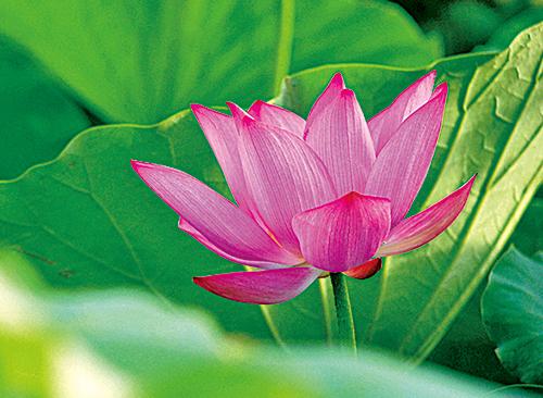 蓮花開花的習性很有趣,一朵蓮花的花期大概只有三天,每一朵花每天都會展開和閉合。
