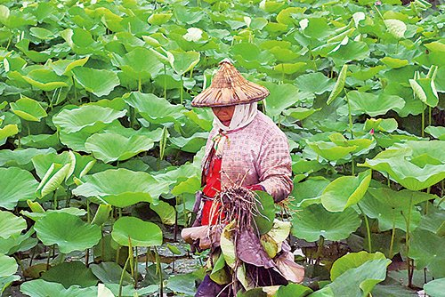 農婦手裏拿著整棵的蓮株,蓮根還沾滿泥土,站在一片翠綠的蓮葉裏。