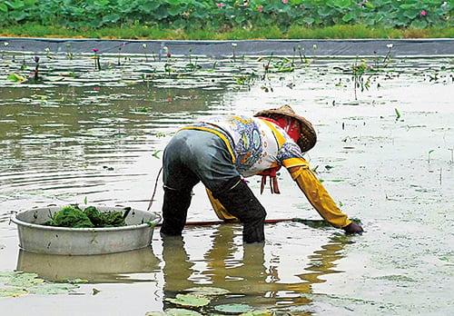 農婦戴著斗笠,彎著腰、雙手探入蓮田裏,身旁的蓮葉貼浮水面,波影映著粼粼天光。