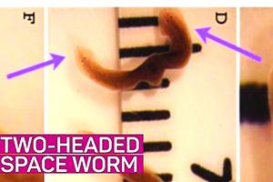 驚訝!扁蟲在太空裏長出兩個頭