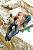 棕熊皮包骨被疑受虐 動物園:瘦但健康