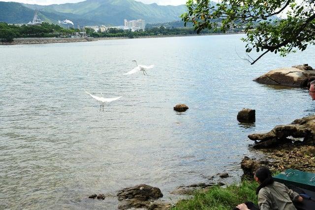 兩隻小白鷺率先振翅高飛。(嘉道理農場暨植物園提供)
