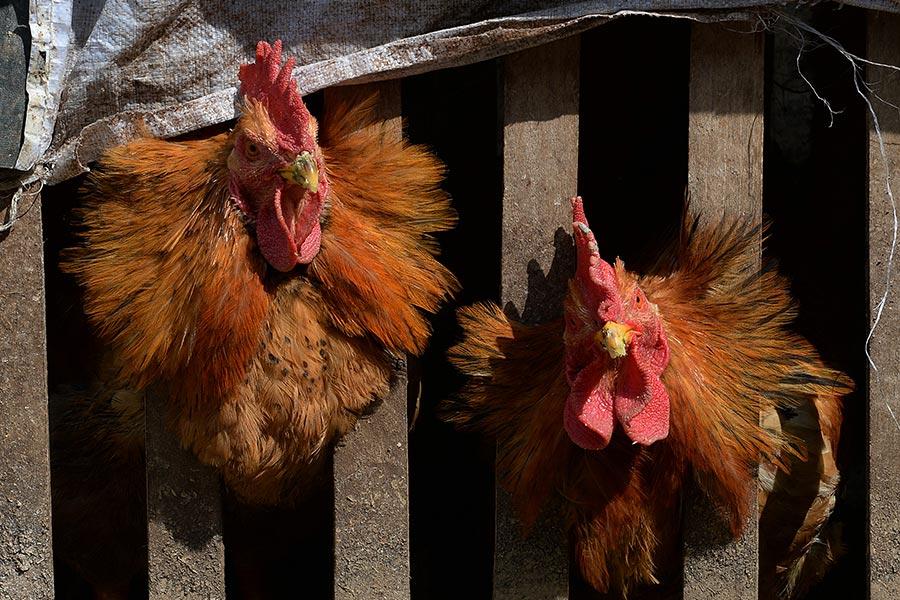大陸衞計委通報,在6月23日至29日期間中國大陸新增6宗人類感染甲型禽流感(H7N9)個案。(MARK RALSTON/AFP/Getty Images)