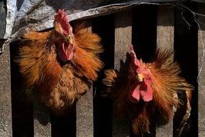 大陸一周內新增六人感染H7N9禽流感