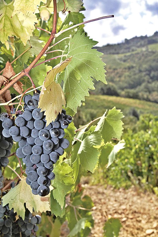Chianti釀自意大利的Sangiovese葡萄。
