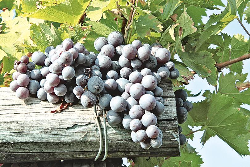 Barolo與Barbaresco釀自意大利生產的Nebbiolo葡萄。