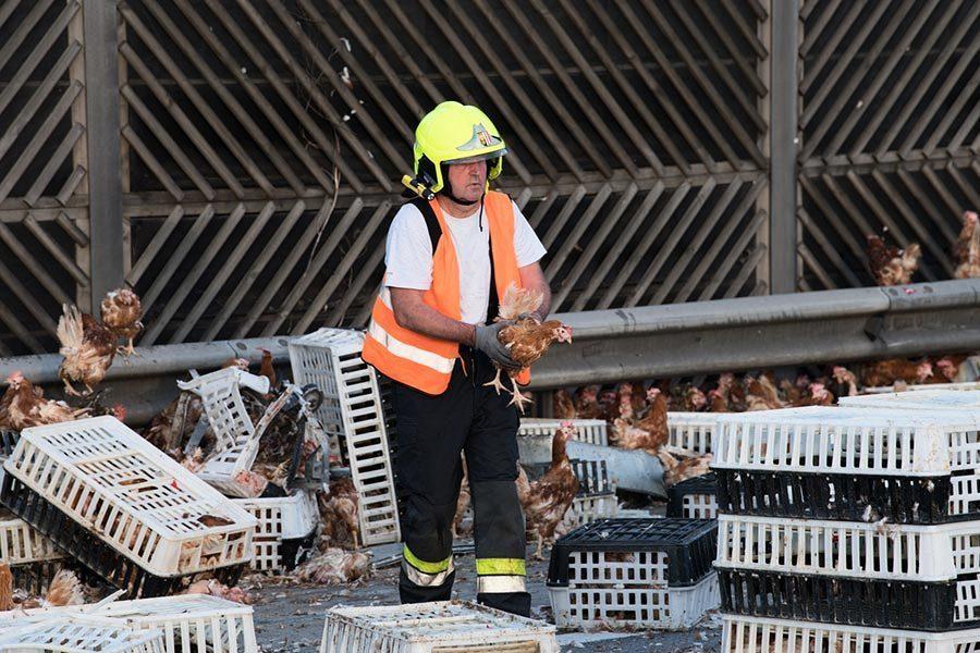 司機打盹撞車雞隻倒滿地 消防員公路上忙執雞