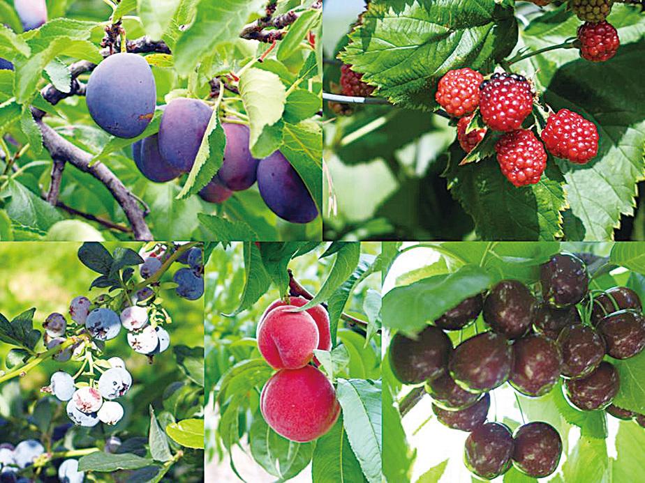 奧卡納根湖區盛產的水果很有名氣。(Sunny/大紀元)